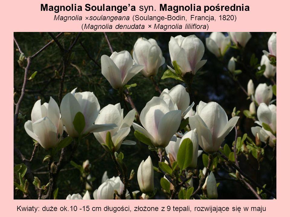 Magnolia Soulange'a syn. Magnolia pośrednia