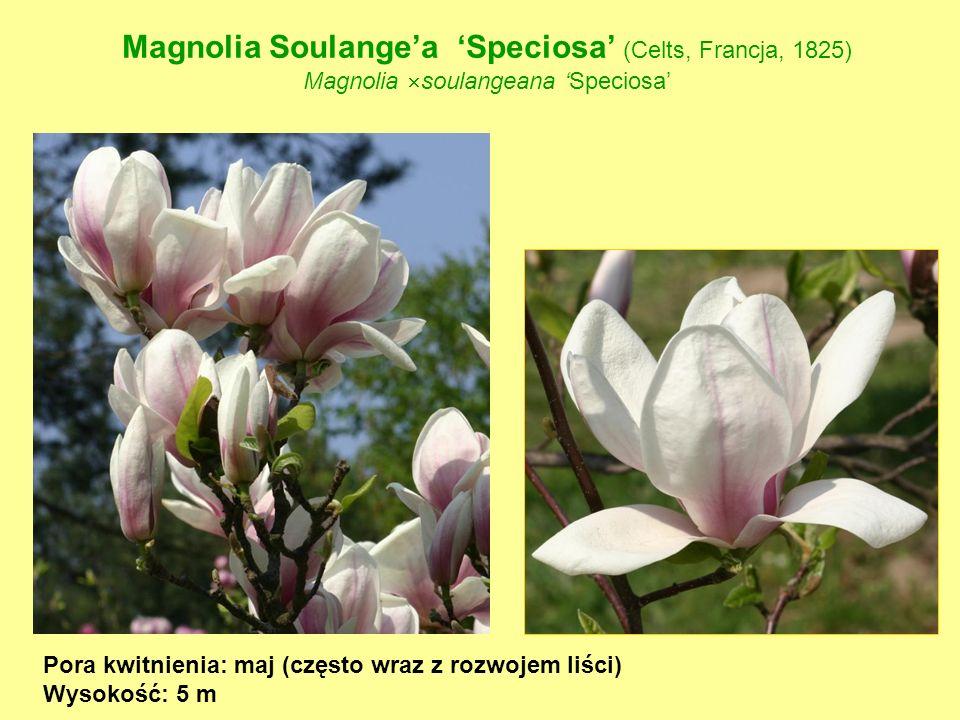 Magnolia Soulange'a 'Speciosa' (Celts, Francja, 1825)
