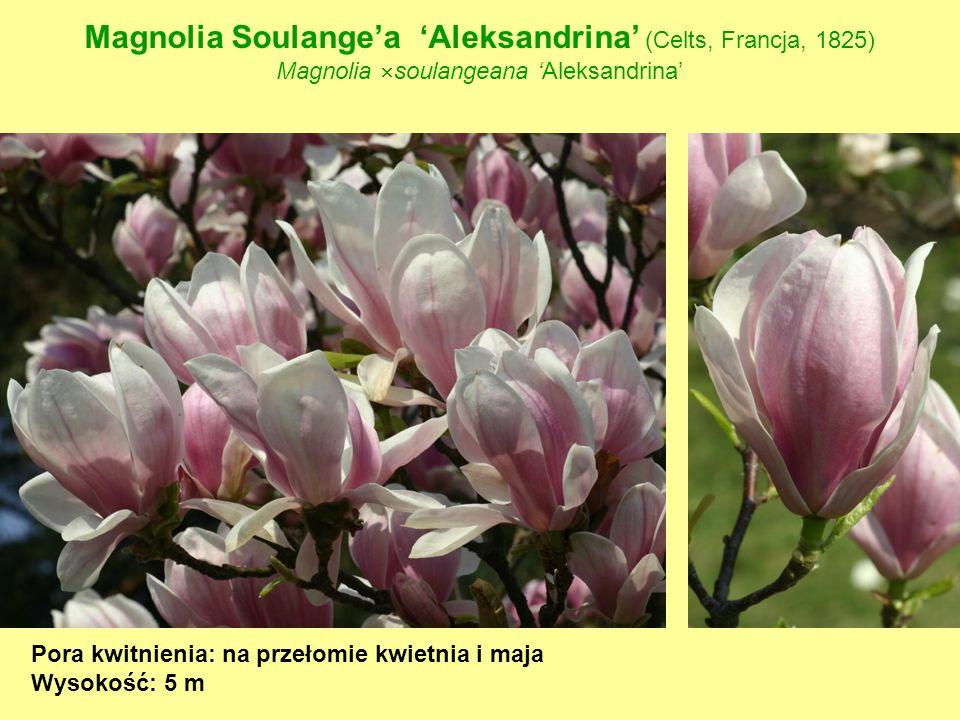 Magnolia Soulange'a 'Aleksandrina' (Celts, Francja, 1825)