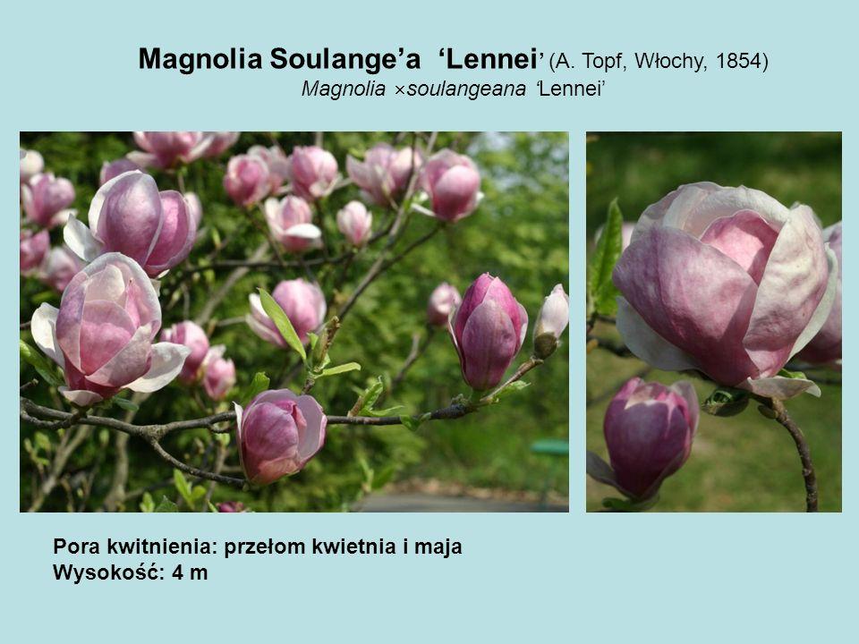Magnolia Soulange'a 'Lennei' (A. Topf, Włochy, 1854)