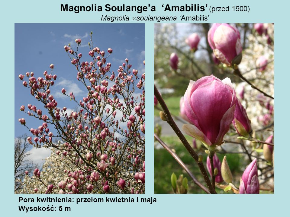 Magnolia Soulange'a 'Amabilis' (przed 1900)