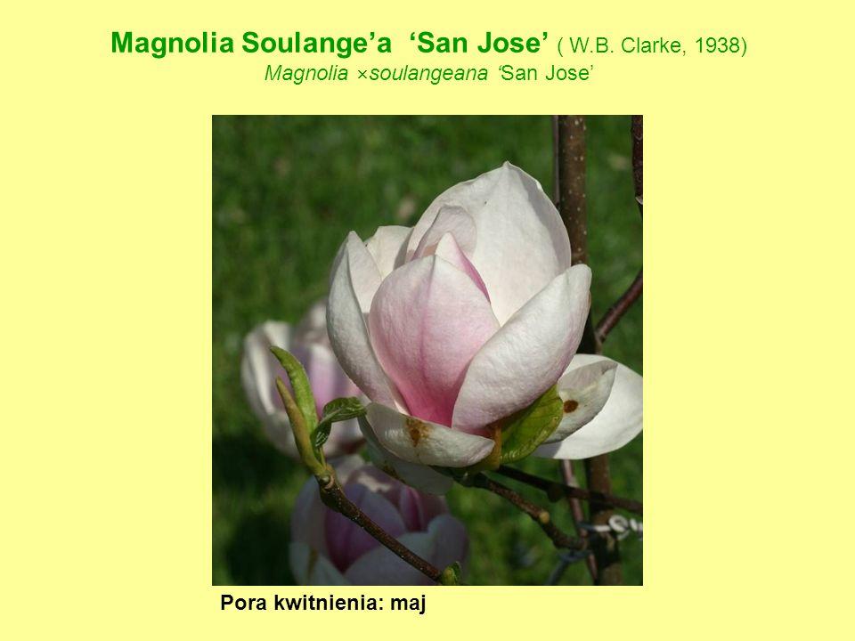 Magnolia Soulange'a 'San Jose' ( W.B. Clarke, 1938)