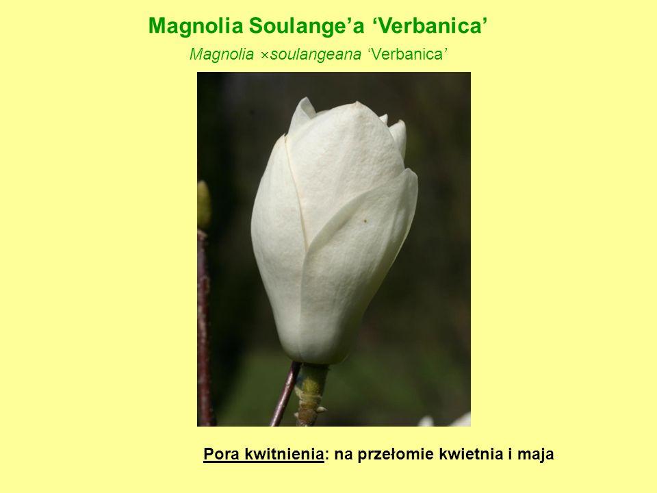 Magnolia Soulange'a 'Verbanica'