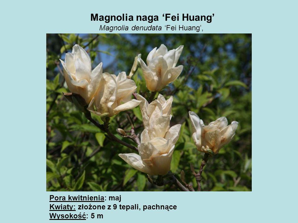 Magnolia naga 'Fei Huang'