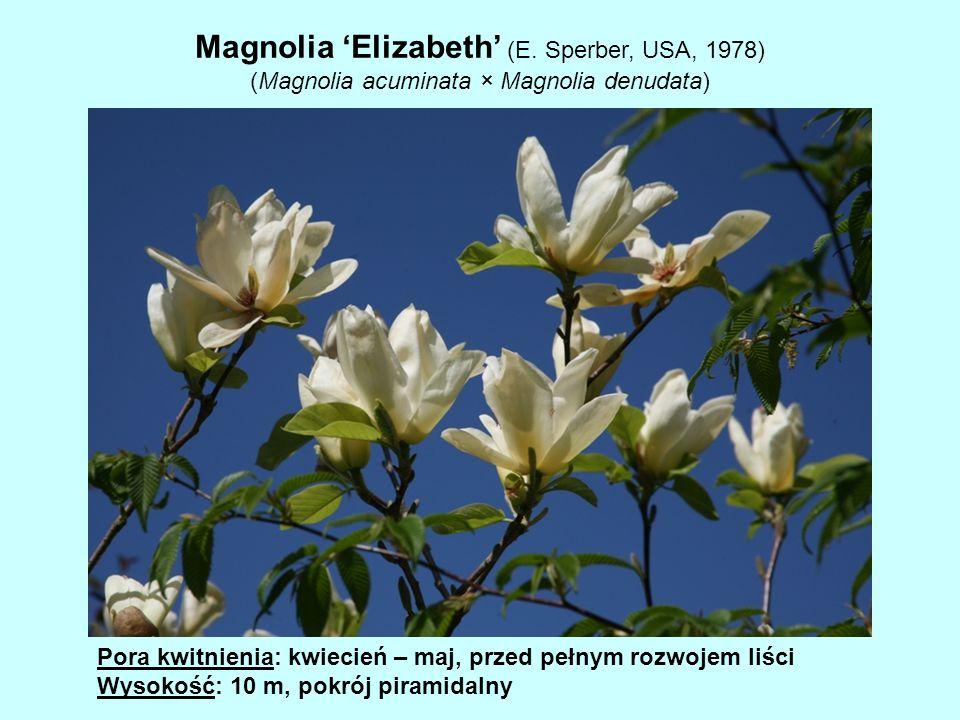Magnolia 'Elizabeth' (E. Sperber, USA, 1978)