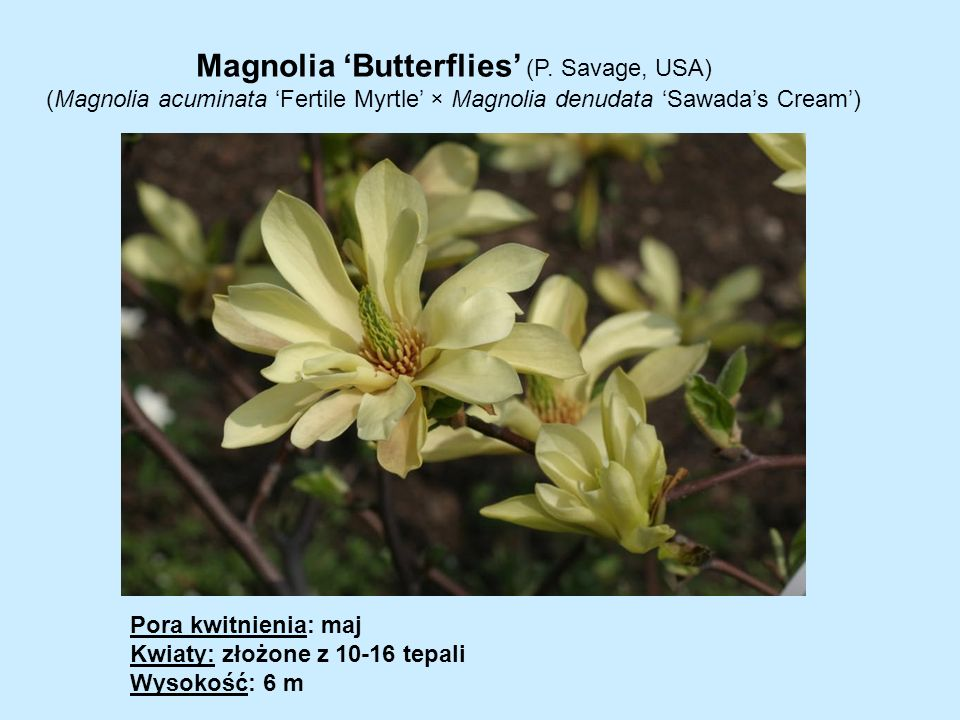 Magnolia 'Butterflies' (P. Savage, USA)