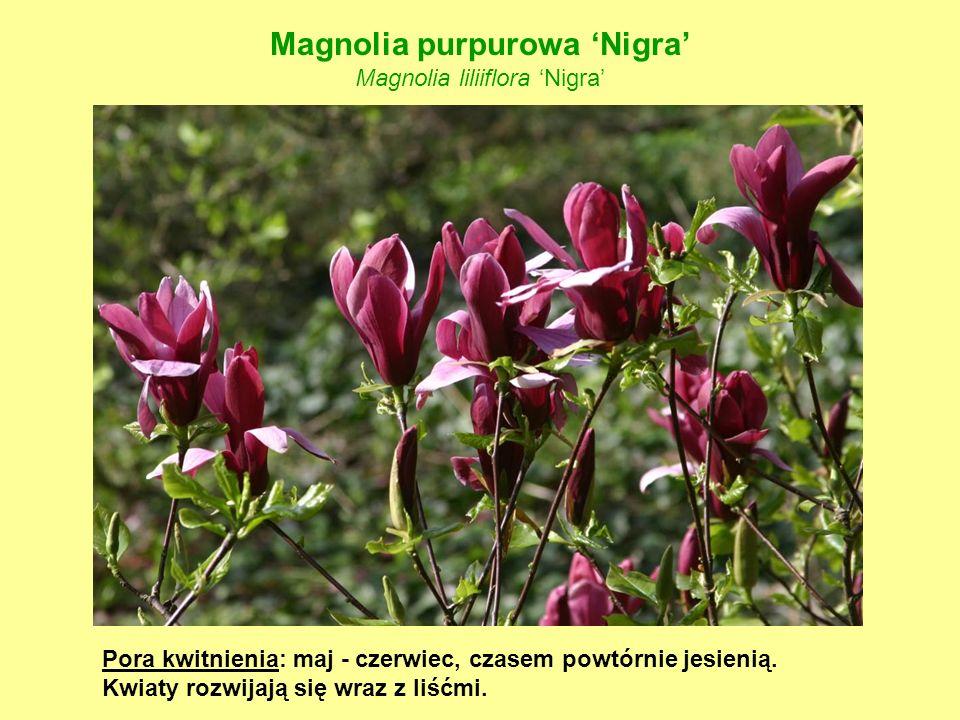 Magnolia purpurowa 'Nigra' Magnolia liliiflora 'Nigra'