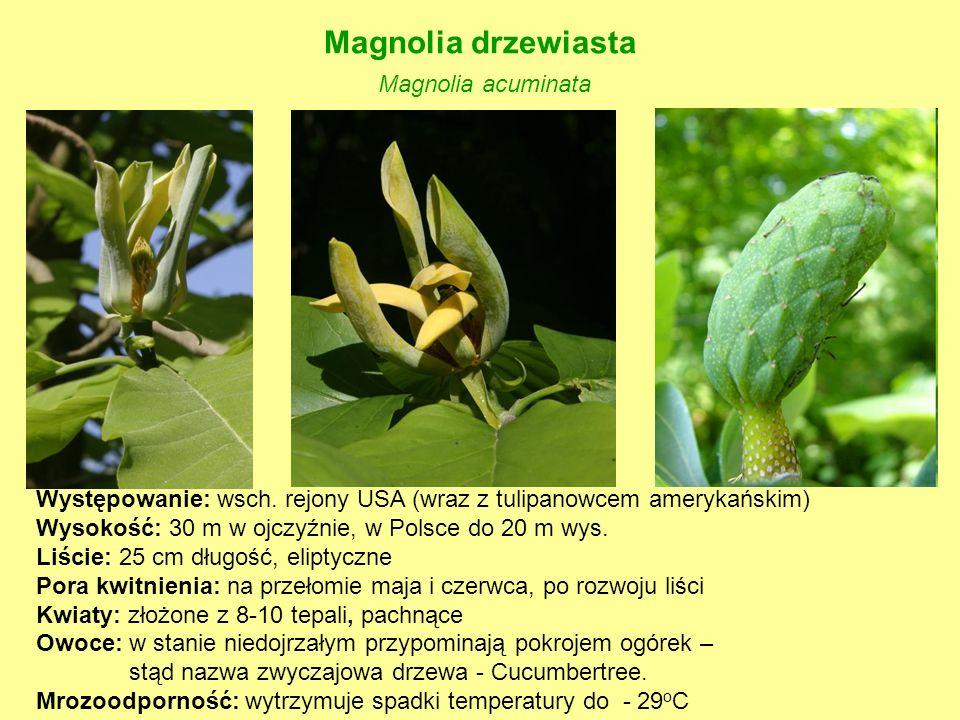 Magnolia drzewiasta Magnolia acuminata