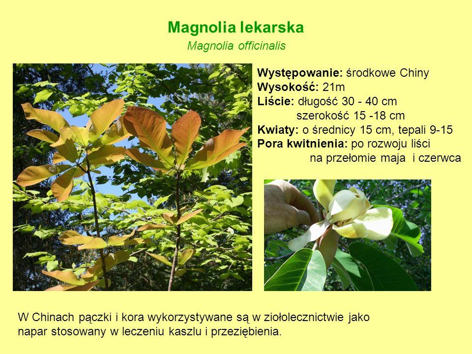 Magnolia lekarska Magnolia officinalis