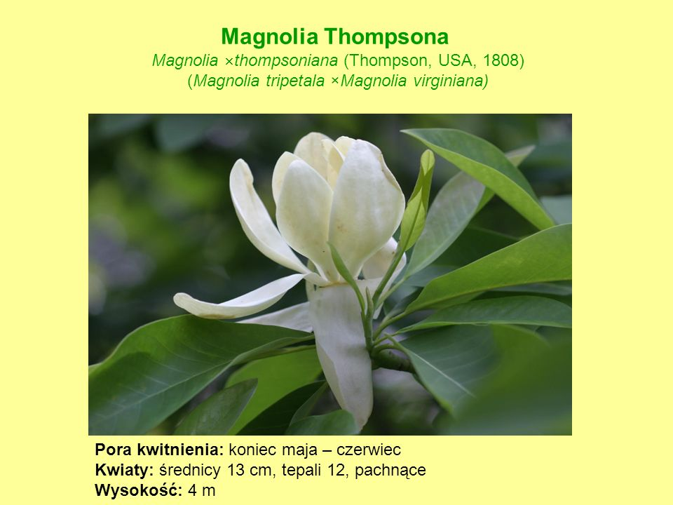 Magnolia Thompsona Magnolia thompsoniana (Thompson, USA, 1808)