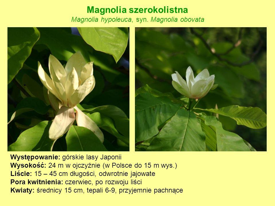 Magnolia szerokolistna Magnolia hypoleuca, syn. Magnolia obovata