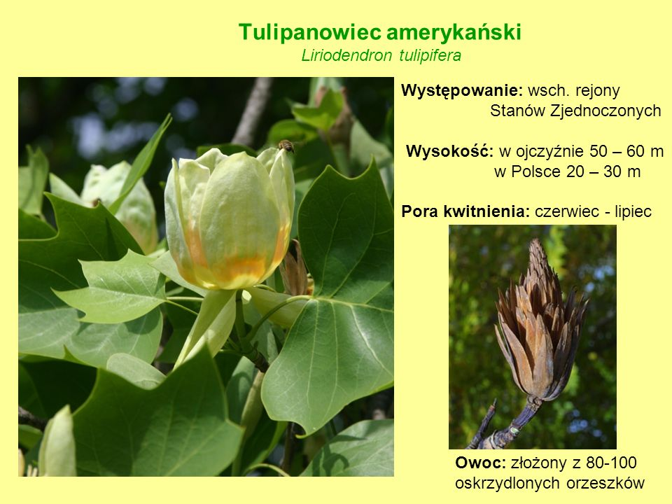 Tulipanowiec amerykański Liriodendron tulipifera