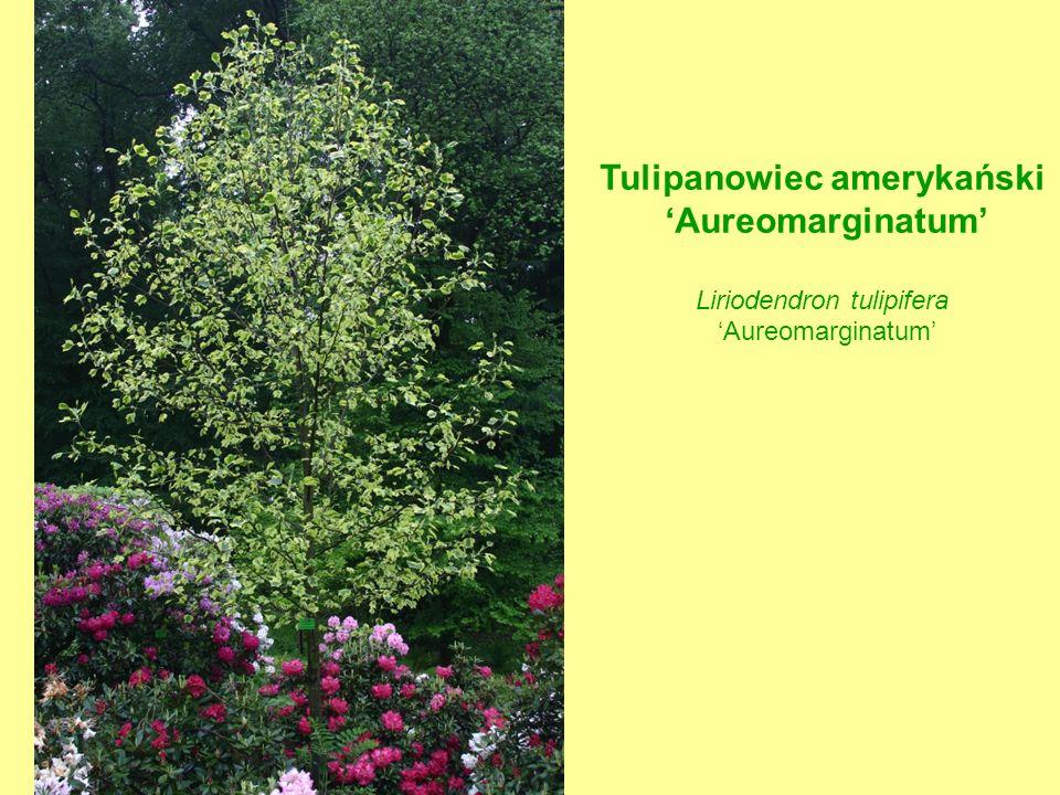 Tulipanowiec amerykański