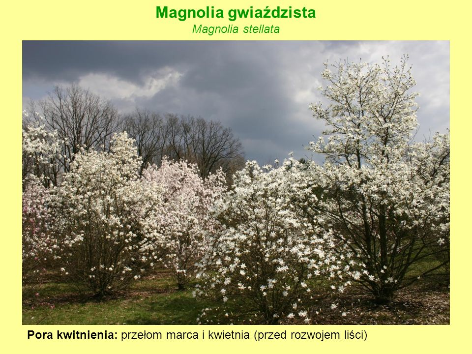 Magnolia gwiaździsta Magnolia stellata