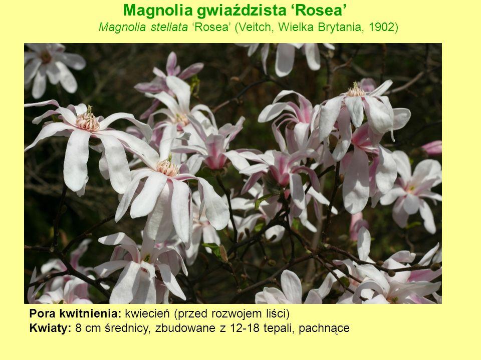 Magnolia gwiaździsta 'Rosea'