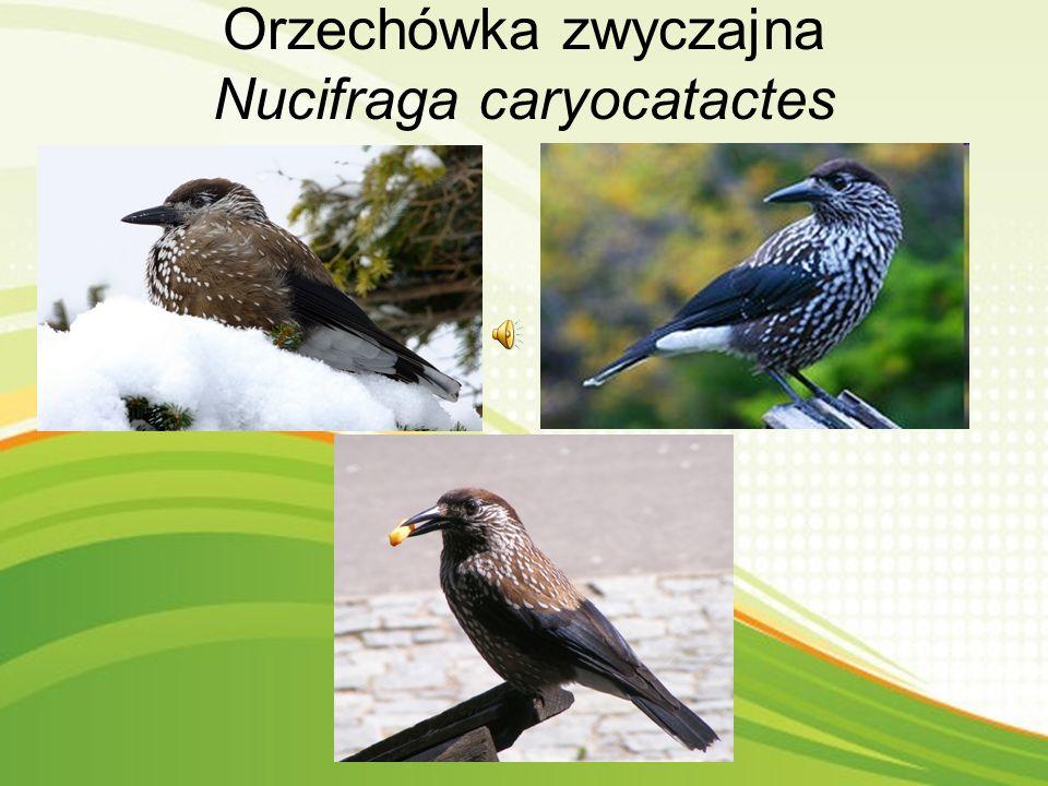 Orzechówka zwyczajna Nucifraga caryocatactes