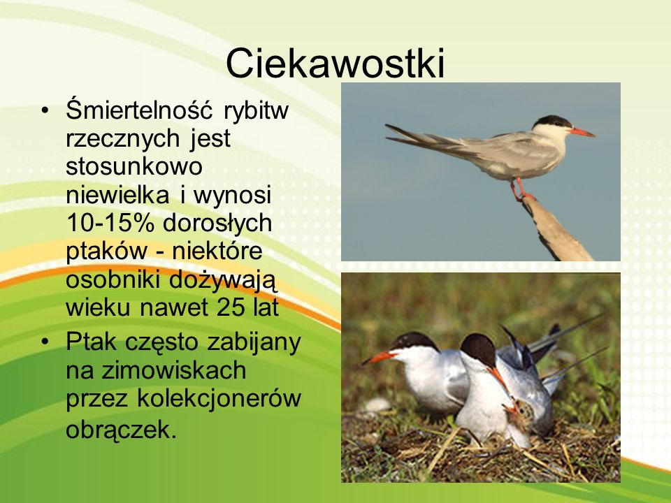 Ciekawostki Śmiertelność rybitw rzecznych jest stosunkowo niewielka i wynosi 10-15% dorosłych ptaków - niektóre osobniki dożywają wieku nawet 25 lat.