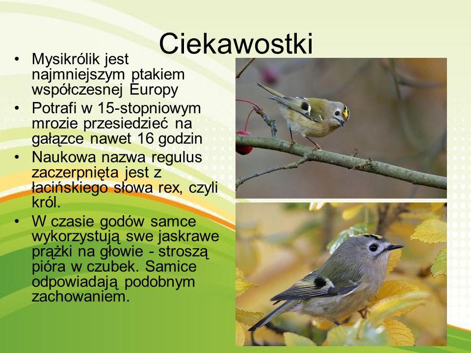 Ciekawostki Mysikrólik jest najmniejszym ptakiem współczesnej Europy