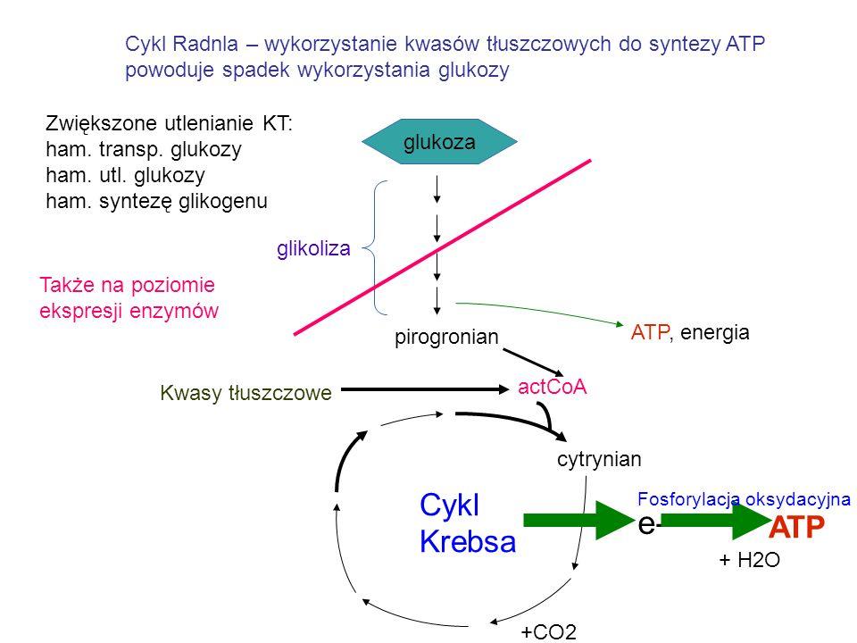Cykl Radnla – wykorzystanie kwasów tłuszczowych do syntezy ATP