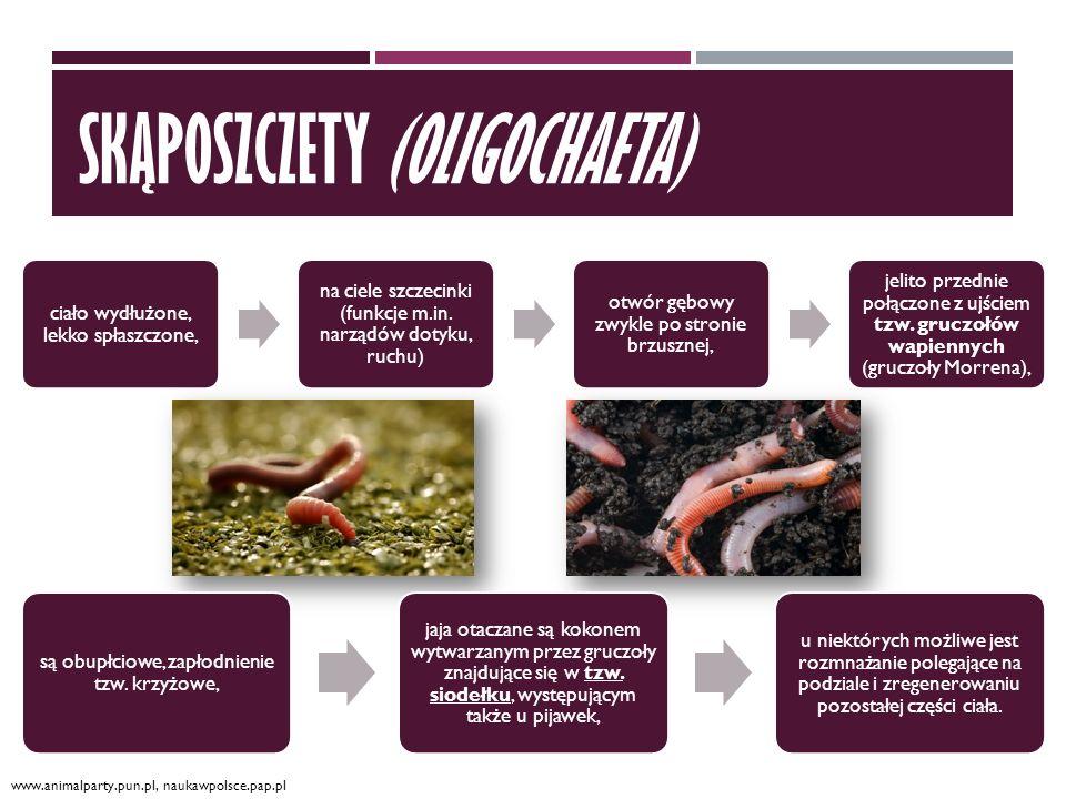 skąposzczety (Oligochaeta)