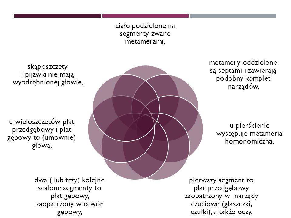 Charakterystyka ciało podzielone na segmenty zwane metamerami,