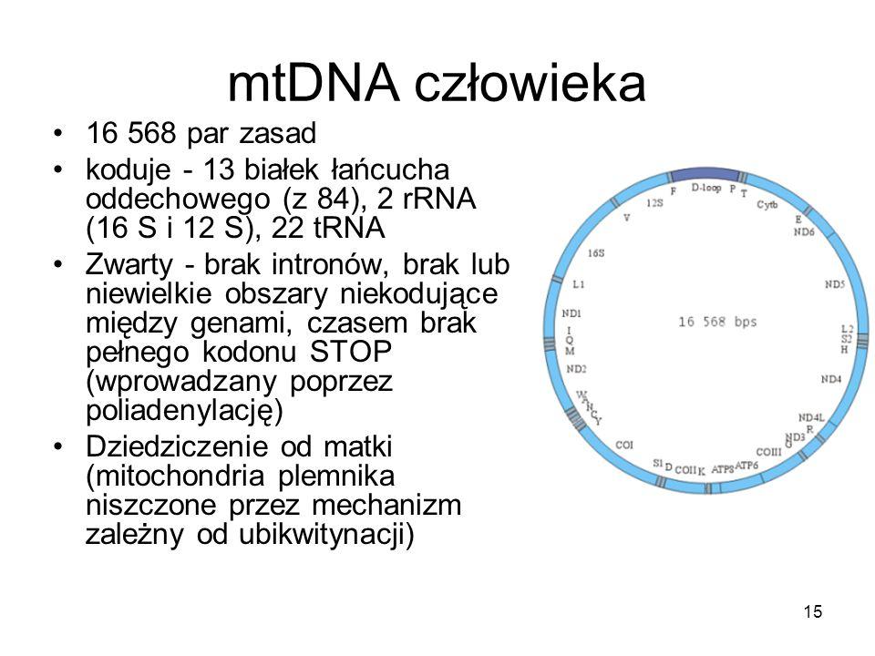 mtDNA człowieka 16 568 par zasad