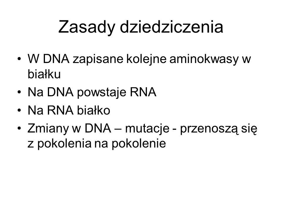 Zasady dziedziczenia W DNA zapisane kolejne aminokwasy w białku