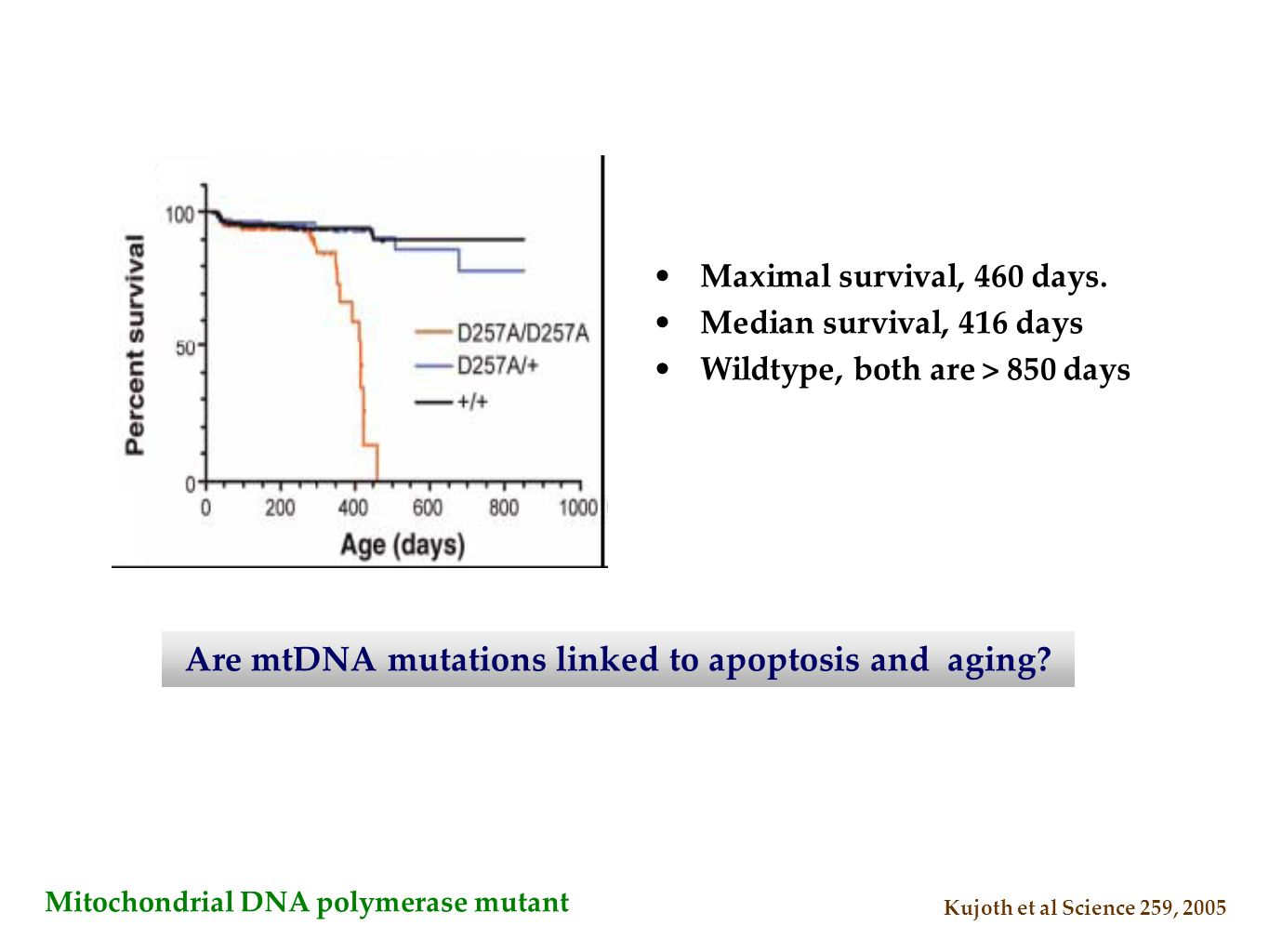 Are mtDNA mutations linked to apoptosis and aging