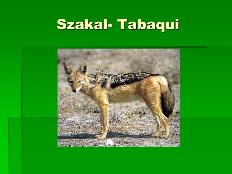 Szakal- Tabaqui