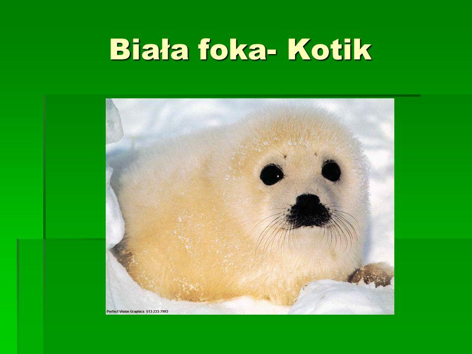 Biała foka- Kotik