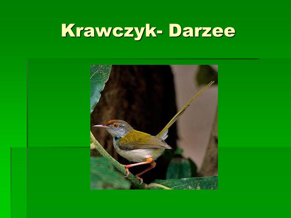 Krawczyk- Darzee