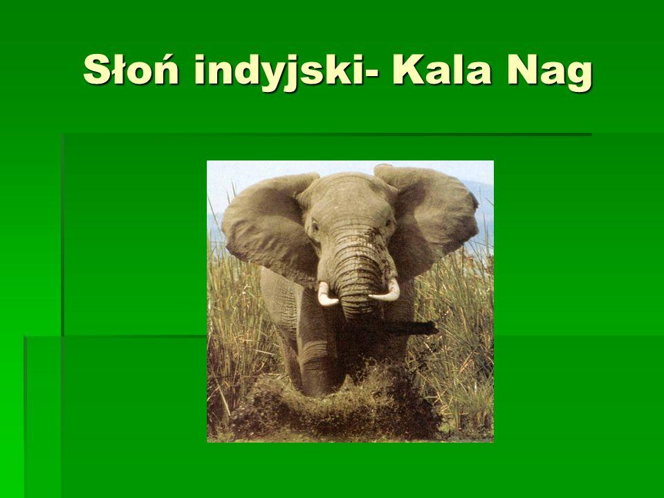 Słoń indyjski- Kala Nag