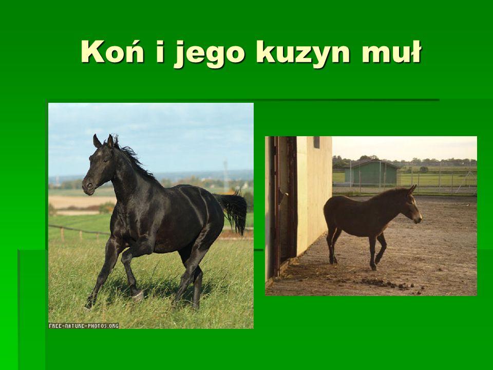Koń i jego kuzyn muł