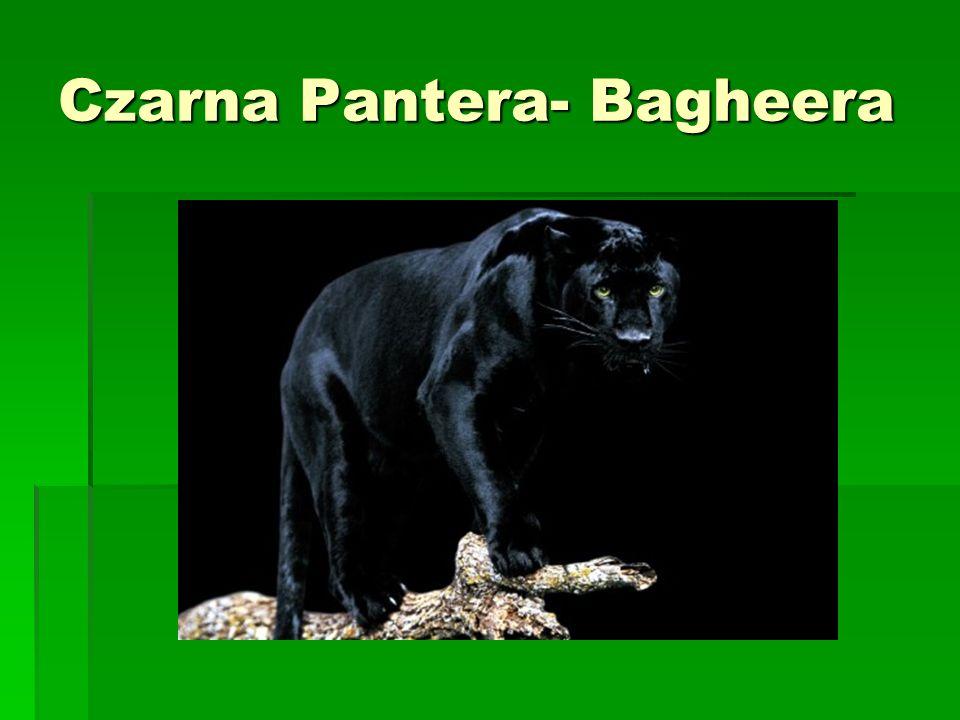 Czarna Pantera- Bagheera