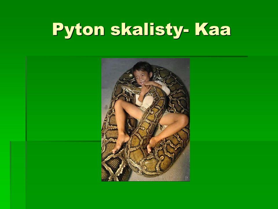 Pyton skalisty- Kaa