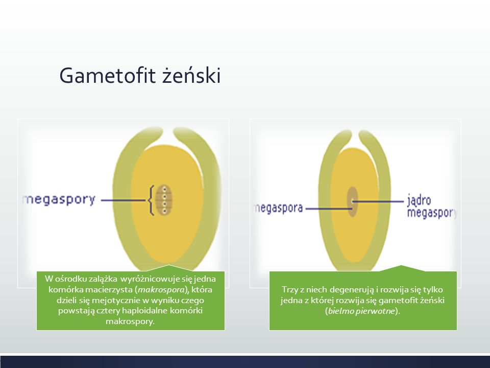 Gametofit żeński