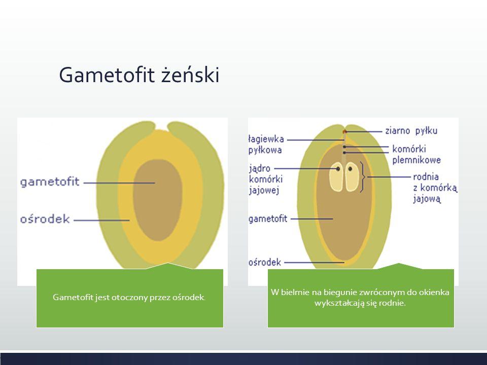 Gametofit żeński Gametofit jest otoczony przez ośrodek.
