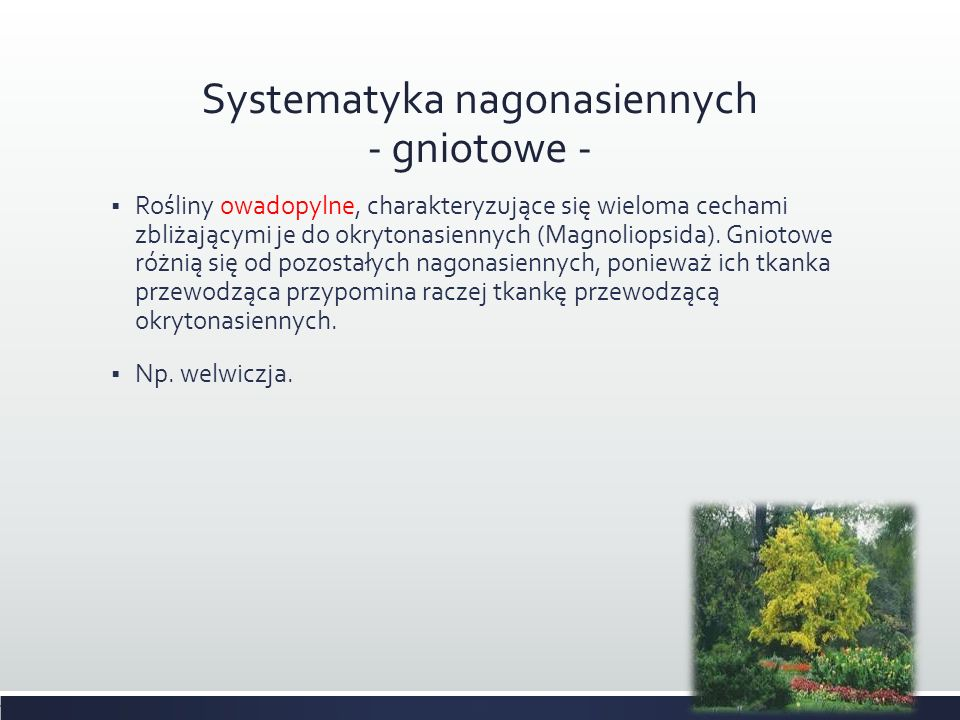 Systematyka nagonasiennych - gniotowe -
