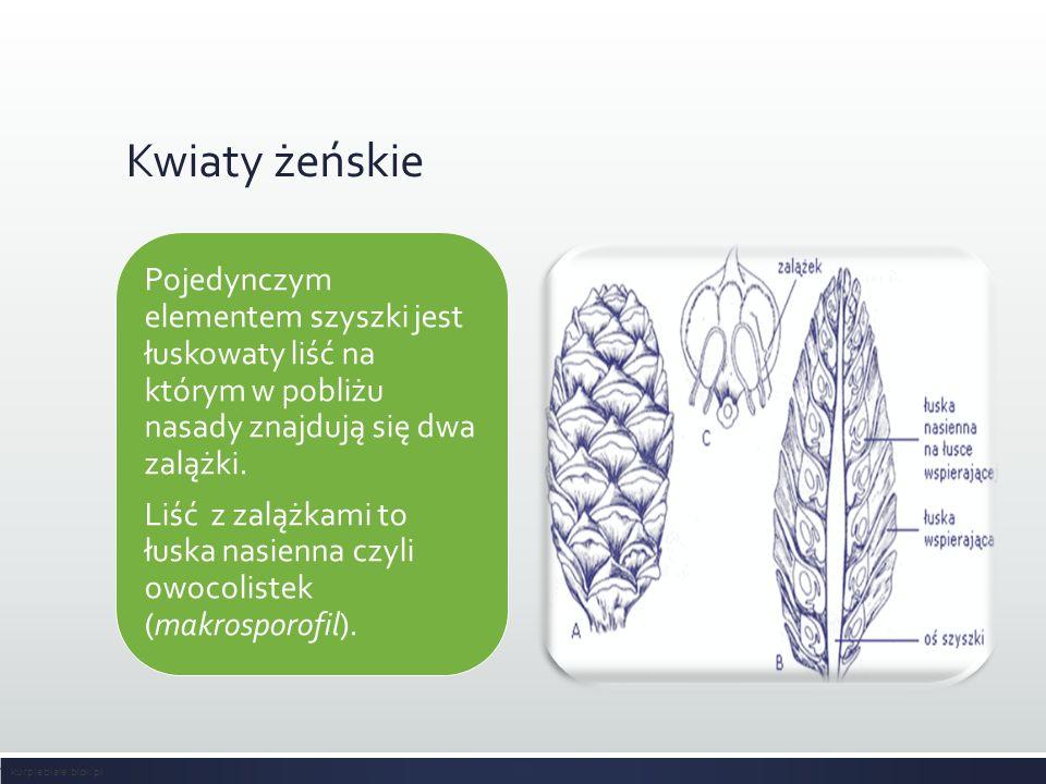 Kwiaty żeńskie Pojedynczym elementem szyszki jest łuskowaty liść na którym w pobliżu nasady znajdują się dwa zalążki.