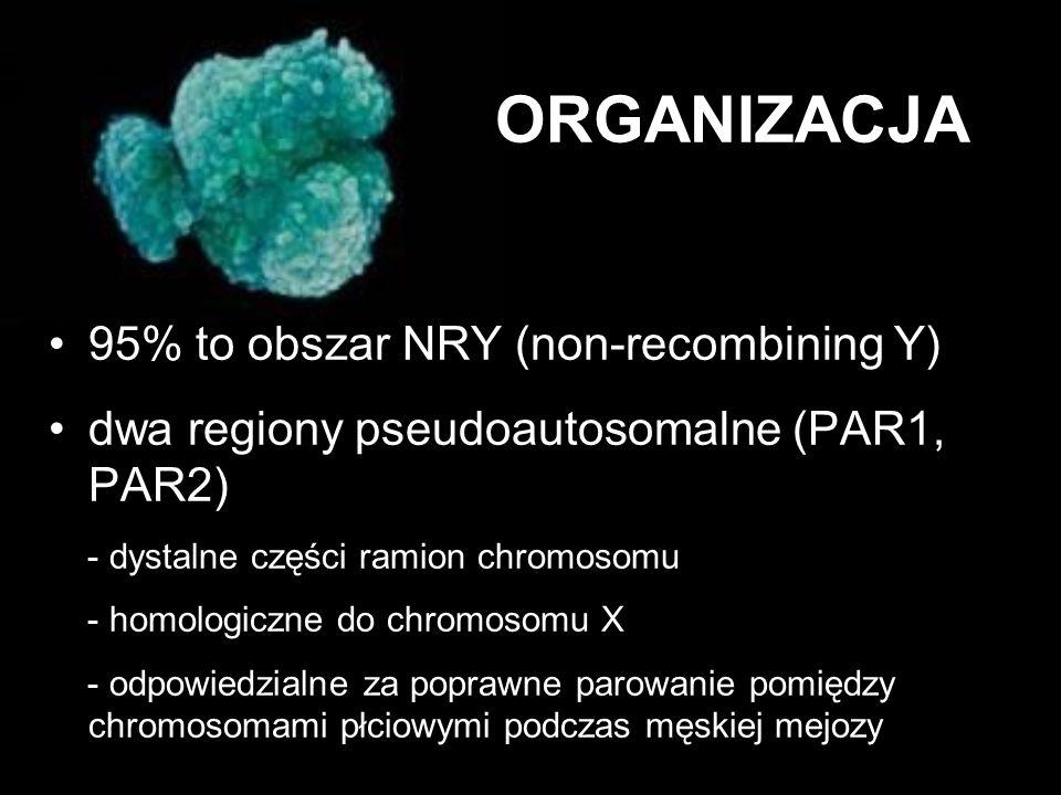 ORGANIZACJA 95% to obszar NRY (non-recombining Y)