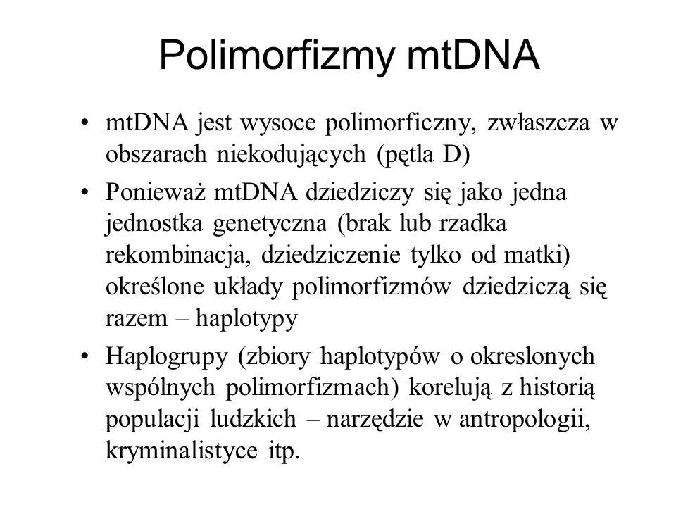 Polimorfizmy mtDNA mtDNA jest wysoce polimorficzny, zwłaszcza w obszarach niekodujących (pętla D)