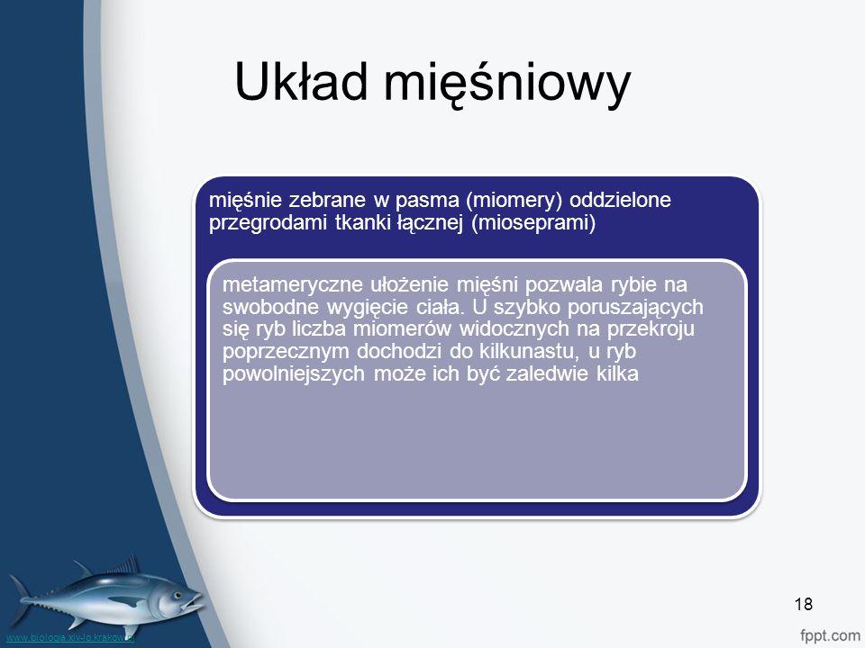 Układ mięśniowy mięśnie zebrane w pasma (miomery) oddzielone przegrodami tkanki łącznej (mioseprami)