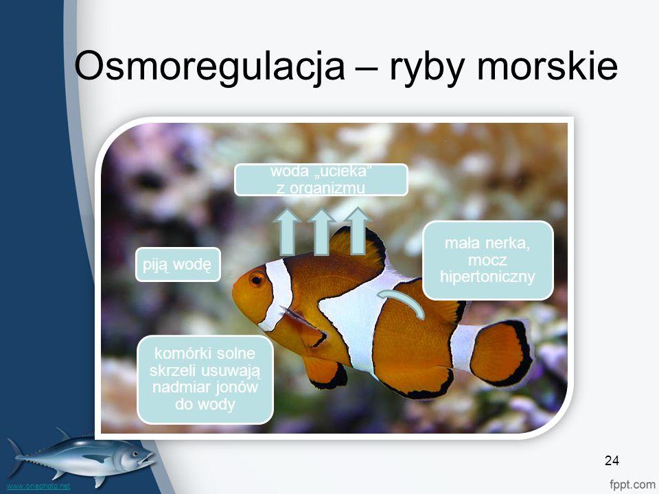 Osmoregulacja – ryby morskie