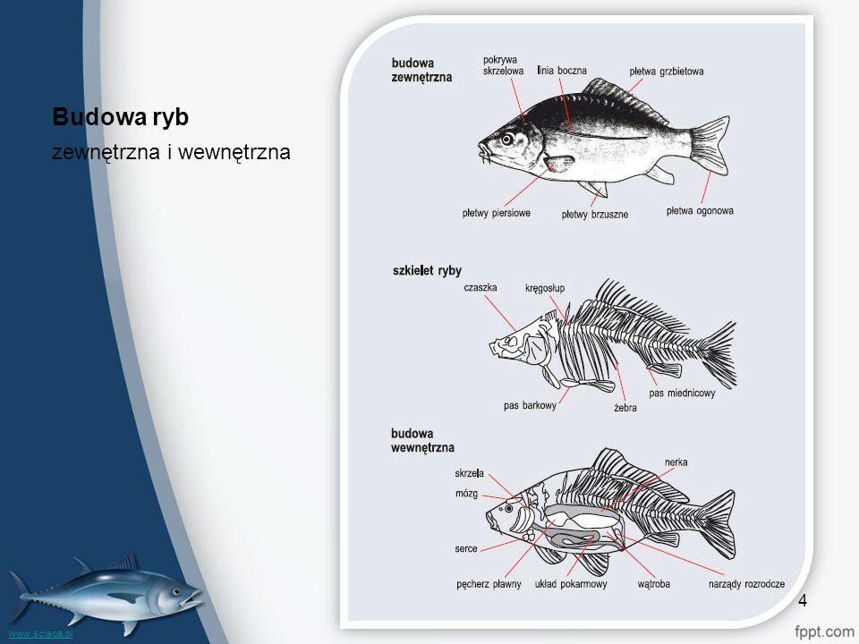 Budowa ryb zewnętrzna i wewnętrzna www.sciaga.pl