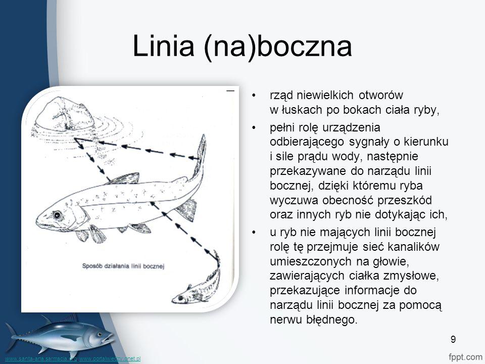 Linia (na)boczna rząd niewielkich otworów w łuskach po bokach ciała ryby,