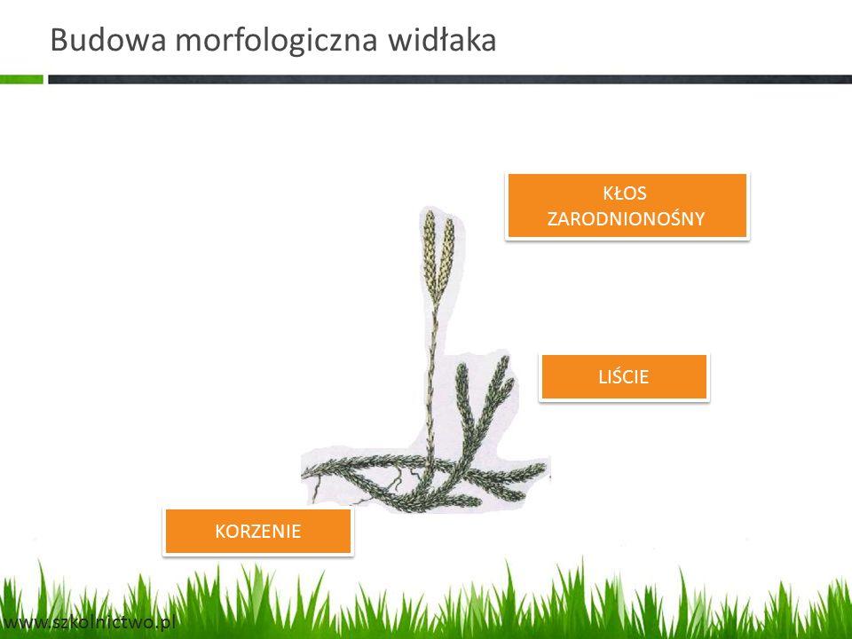 Budowa morfologiczna widłaka