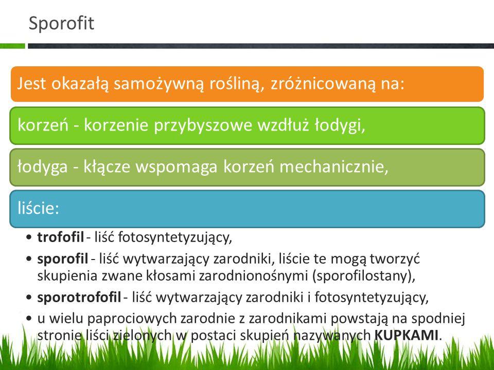 Sporofit Jest okazałą samożywną rośliną, zróżnicowaną na: