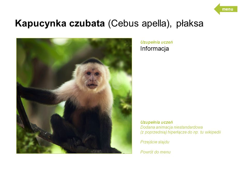 Kapucynka czubata (Cebus apella), płaksa