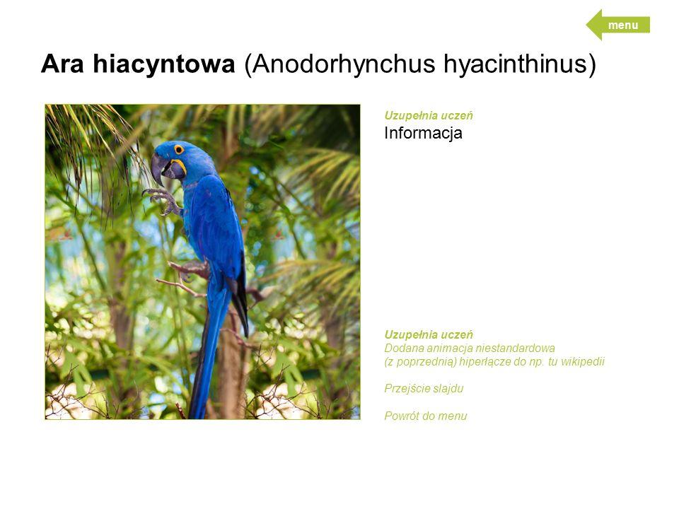 Ara hiacyntowa (Anodorhynchus hyacinthinus)