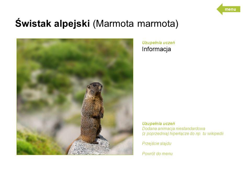 Świstak alpejski (Marmota marmota)